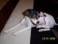 Toy Fox Terrier, 4 months, Black and Tan
